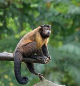 stock photo of rainforest  - Brown capuchin monkey sitting on a tree in rainforest - JPG