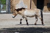 picture of  horse  - Przewalski - JPG