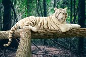 stock photo of white-tiger  - Portrait of a Bengal white tiger lying on a tree in a forest background - JPG