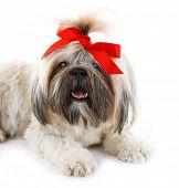 picture of dog breed shih-tzu  - Cute Shih Tzu isolated on white - JPG
