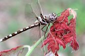 pic of carnivorous plants  - A Didymops transvera stream cruiser dragonfly perches on a plant with red leaves in a midwestern United States of America forest in this macro photo - JPG