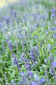 picture of salvia  - Purple salvia flowers at the nature  - JPG