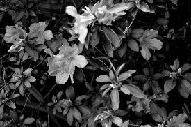 foto of azalea  - Black and white photo of an azalea bush with a caterpillar crawling on one of the leaves - JPG