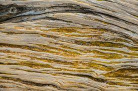 pic of juniper-tree  - Trunk Texture of Gnarled Juniper Tree Shaped By The Wind at El Sabinar - JPG