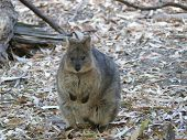 picture of quokka  - quokka are a native animal in australia