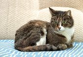 Serious cat, cat at home, domestic animal, grey serious cat in blurry background. Brown cat poster