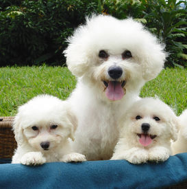 foto of bichon frise dog  - pure breed bichon frise mother with two of her puppies