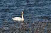 image of trumpeter swan  - Trumpeter Swan at the coast of Vancouver - JPG