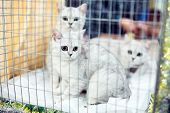 Exhibition Or Fair Cats. Pedigreed Cats In A Cage. poster