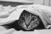 Adult Tabby Cat Playing Hide And Seek poster