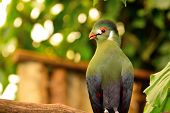 Portrait Of A Green Turaco Perched On A Branch poster