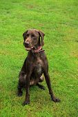 German Shorthaired Pointer Female, Two Years Old poster