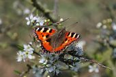 red admiral butterfly on bush