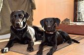 Portrait Of An Adult Black Labrador And A Black Labrador Puppy Sitting Next To Eachother Indoors poster