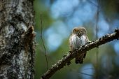 Glaucidium Passerinum. It Is The Smallest Owl In Europe. It Occurs Mainly In Northern Europe. But Al poster
