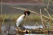 pic of great crested grebe  - great crested grebe mating on their nest - JPG