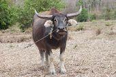 stock photo of female buffalo  - Black buffalo in a rice field in Thailand - JPG