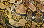 Snake Skin Background. Real Snake . Detail Of A Real Skin Of A Snake With Scales Pattern. Animal Pri poster