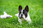 Cute Adorable Black And White French Bulldog Puppy In The Grass, French Bulldog Puppy Portrait In Gr poster