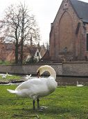 Swans In The City Center Of Brugge, Belgium poster