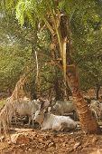 pic of zebu  - herd of Zebu cattle resting under a palm tree  - JPG