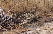pic of timber rattlesnake  - Timber rattlesnake showing his rattle and looking dangerous - JPG