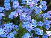 stock photo of forget me not  - forget me not as a background - JPG