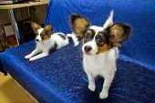 image of epagneul  - Two young dog of breed papillon on a blue background - JPG