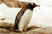 Single Gentoo Penguine, Antarctica