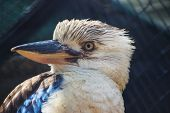 foto of blue winged kookaburra  - A Close up of a Blue Winged Kookaburra