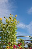 stock photo of wispy  - A vertical image of sunflowers bordering the left of frame and dahlias the foreground - JPG