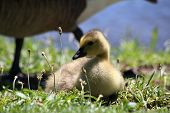picture of baby goose  - Baby goose nestled in the grass with her mother close behind - JPG