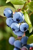 Blueberries on a shrub. Macro shot.