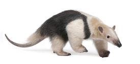 foto of honkers  - Collared Anteater - JPG