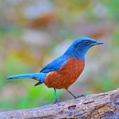 Chestnut-bellied Rock-thrush