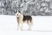 White Alaskan Malamute Dog At Winter