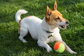image of foxhound  - a dog jack Russel with a ball in a park - JPG