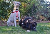 picture of manicured lawn  - One white and one brown boxer dog sitting on a well manicured green lawn - JPG