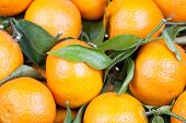 picture of satsuma  - background of fresh oranges satsumas with leafs