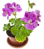 image of geranium  - Pink geranium flower in a clay pot isolated on white background - JPG