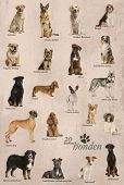image of alsatian  - Dog breeds poster in Dutch - JPG