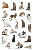 picture of american bombay  - Cat breeds poster in French - JPG