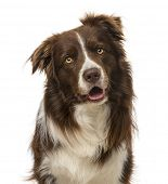 stock photo of collie  - border collie  - JPG