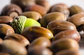 picture of acorn  - Green acorn among lot of ripe acorns.