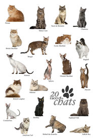 stock photo of american bombay  - Cat breeds poster in French - JPG