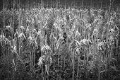 stock photo of callus  - a landscape of maize plants after harvesting - JPG