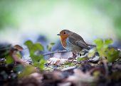 stock photo of robin bird  - cute little robin bird on the ground - JPG