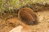 picture of egg-laying  - Australian Echidna sometimes known as spiny anteaters belong to the family Tachyglossidae in the monotreme order of egg - JPG