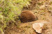 stock photo of egg-laying  - Australian Echidna - JPG