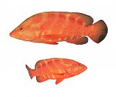 foto of grouper  - Red Coral Grouper  - JPG